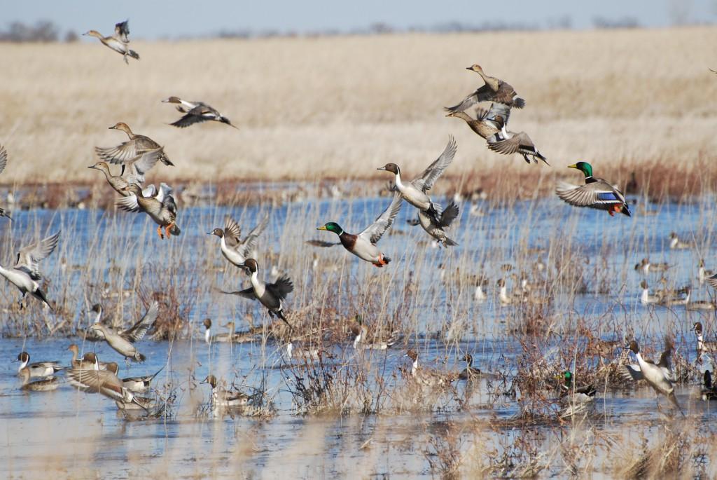 Big Island Wildlife Area Duck Hunting