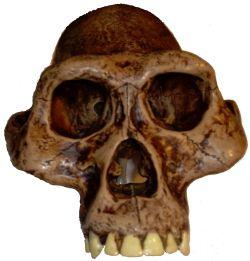 Australopithecus afarensis was a bipedal hominid ancestor