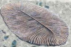 Dickinsonia is representative of Ediacaran biota