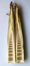 Bamboo Shoot cross section