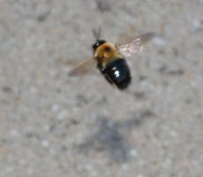 Territorial Bumblebee