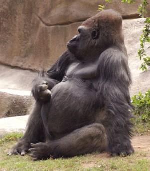 Gorilla profile