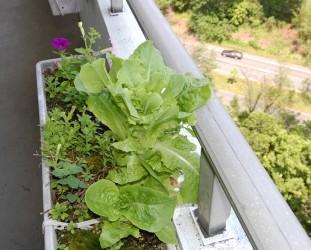 Lettuce in flower boxes